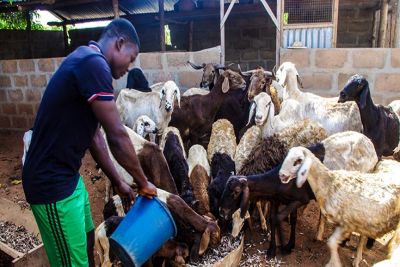 &#82&#97&#105&#115&#105&#110&#103&#32&#72&#101&#97&#108&#116&#104&#105&#101&#114&#32&#76&#105&#118&#101&#115&#116&#111&#99&#107&#32&#116&#111&#32&#73&#110&#99&#114&#101&#97&#115&#101&#32&#70&#111&#111&#100&#32&#83&#101&#99&#117&#114&#105&#116&#121&#32&#105&#110&#32&#84&#111&#103&#111