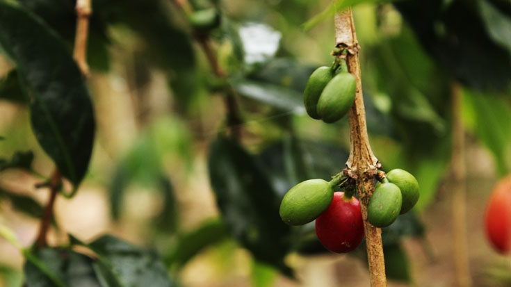PODCAST: Saving Coffee: Combating Coffee Rust in Central America