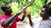 Stream of Cocoa is Flowing Again in Papua New Guinea