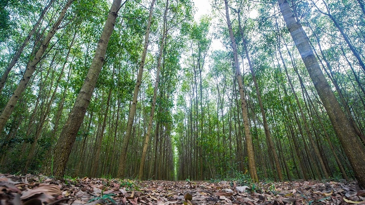 Cultivating Forest Plantations: A Sustainable Way to Reduce Poverty in Vietnam