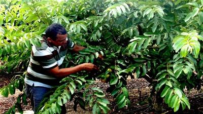 Deusimar Cândido colhe goiabas no Vale do Forquilha, Ceará: há cerca de uma década, as plantações da comunidade dependiam totalmente da água das chuvas. Foto: Mariana Ceratti/Banco Mundial
