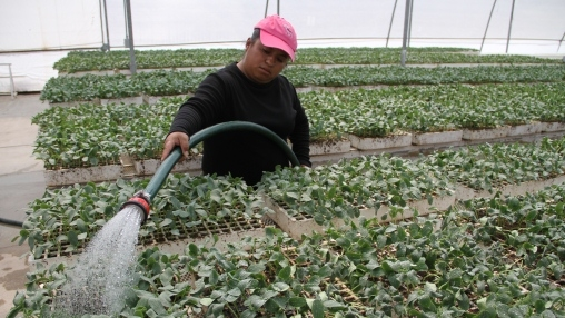Watering in greenhouse in Mexico