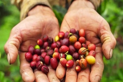 &#72&#97&#110&#100&#115&#32&#115&#104&#111&#119&#105&#110&#103&#32&#80&#101&#114&#117&#118&#105&#97&#110&#32&#99&#111&#102&#102&#101&#101&#32&#98&#101&#97&#110&#115&#46