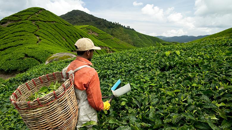 Man hand picking tea leaves