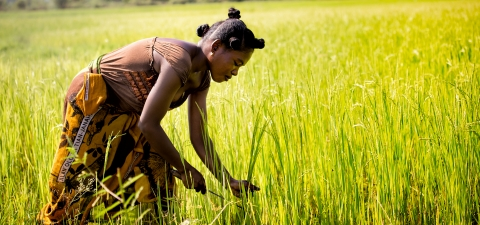 A woman worker harvesting rice at Morondava town, Madagascar. © Nok Lek/Shutterstock.com