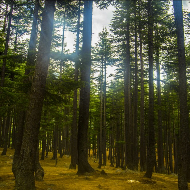 Kalam Forest Swat Pakistan