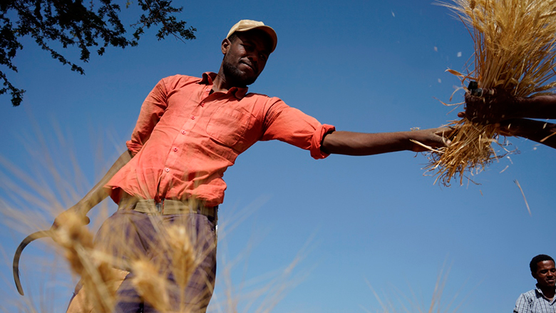Wheat farmer in Ethiopia. Photo: Peter Lowe/CIMMYT