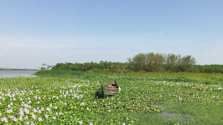 Iamage, Water hyacinth, Lake Victoria, Africa