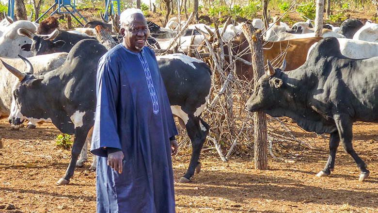 Malian Livestock Farmers Turn To Cattle Fattening To