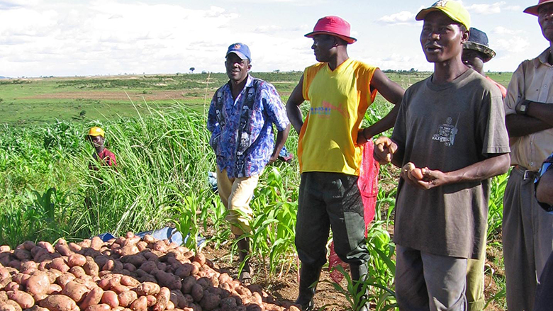 Farmers in Angola examine their potato harvest.