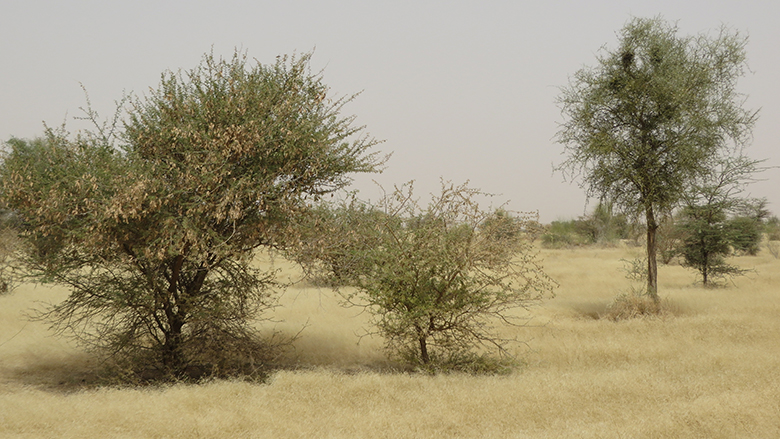 Acacia trees, prized as a source of gum arabic, thrive in hot and dry southern Mauritania.