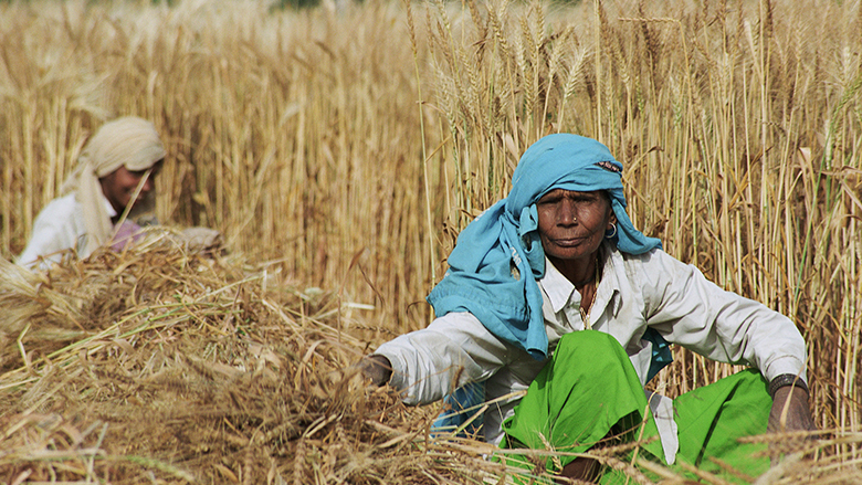 Farmers harvest wheat in Bangladesh.