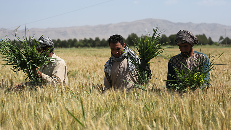 A research farm in Herat Province is helping to improve and sustain seed production, which will result in high-yielding crop varieties.