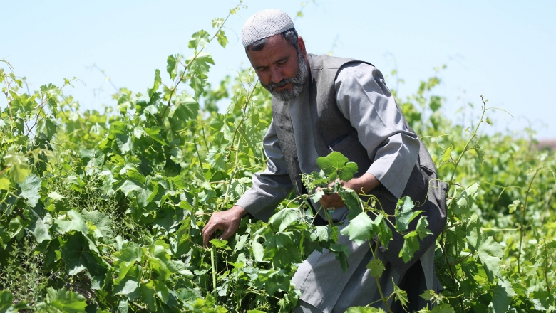 Modern Drying Houses Yield Improved Produce for Afghanistan Farmers