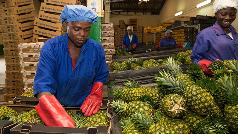 Worker sort pineapples at Gold Coast Fruits Production in Ghana.