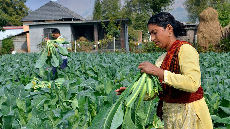 Farmers harvest cauliflower in Himachal Pradesh, India. Photo: Neil Palmer / CIAT