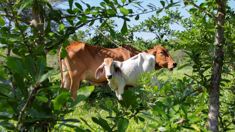 Trees And Cows Offer Path To Recovery In Colombia