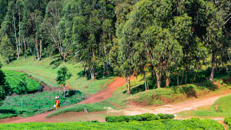 Rwanda landscape, green forest and fields, sunny day, Nyungwe