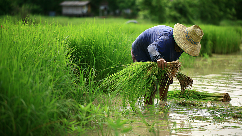 A rice farmer works in the field