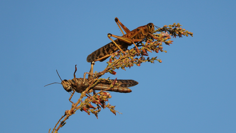 Swarms of locust are threatening the food security and livelihoods of millions of people in Africa and the Middle East.